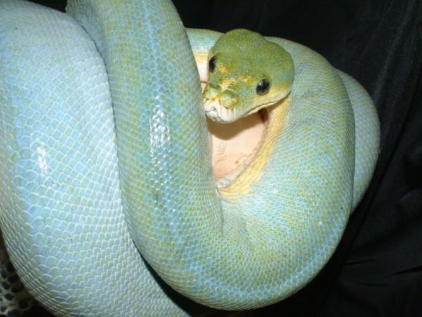 Blue Sorong Green Tree Python, uploaded by kingsnake.com user snakemanskynard