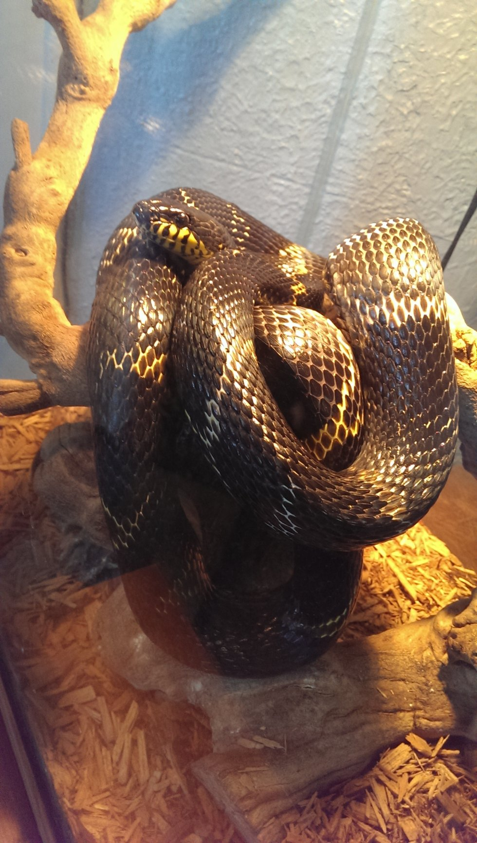 Male Russian Rat Snake
