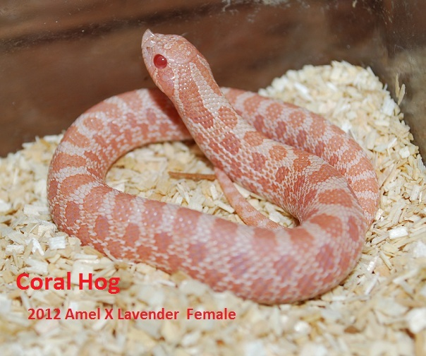 Kingsnake.com Photo Gallery > Hognose Snakes > Coral Hog