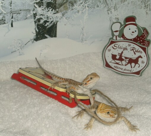 Dragon Sleigh Rides, uploaded by kingsnake.com user ginag