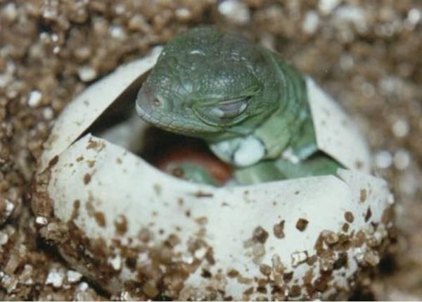 Iguana hatching, uploaded by kingsnake.com user tony1515