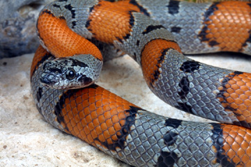 Photo: Gray-banded Kingsnake