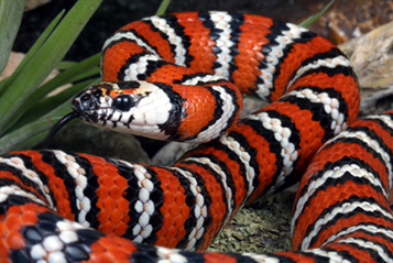 Photo: zonata kingsnake