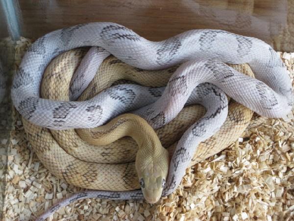 Kingsnake com Classifieds > Rat Snake Classifieds