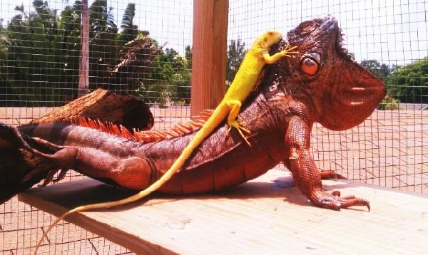 Baby Albino Iguana on top of Red iguana