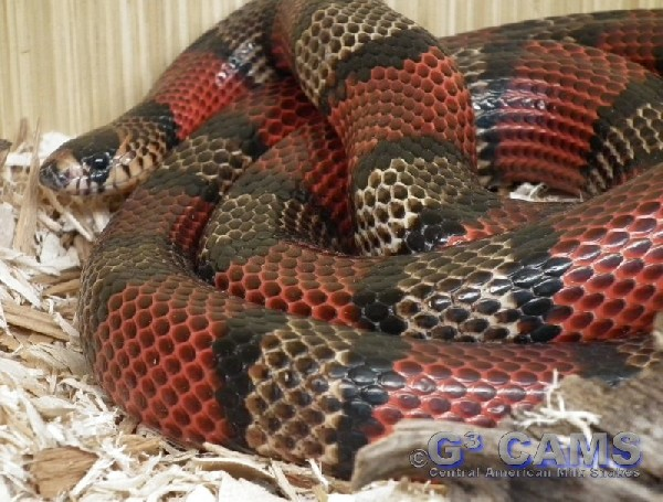 Milk Snake, uploaded by kingsnake.com user gerryg