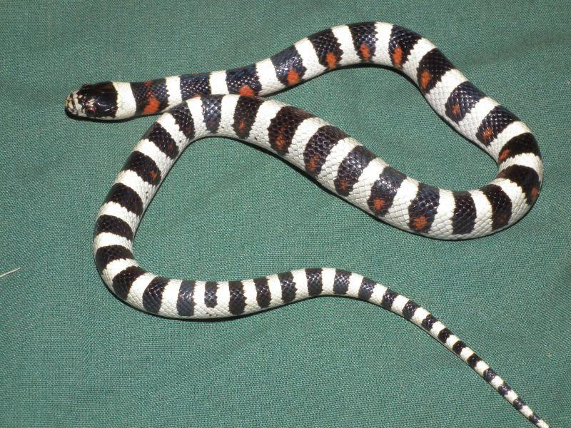 L.t. gentilis