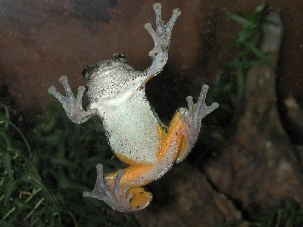 Tree frog, uploaded by kingsnake.com user gerryg