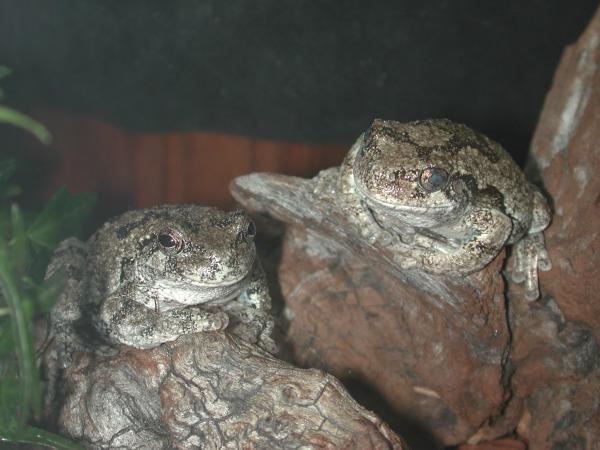 Gray Tree Frogs, uploaded by kingsnake.com user gerryg