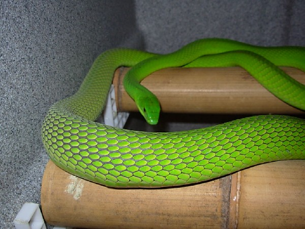 Green Mamba, uploaded by kingsnake.com user Annapinder
