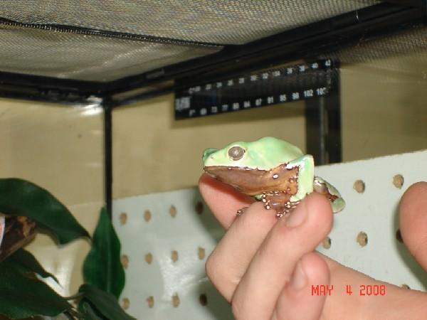Giant waxy monkey tree frog