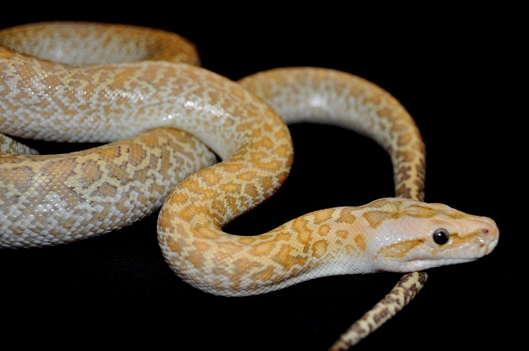 kingsnakecom photo gallery gt burmese pythons gt hypo