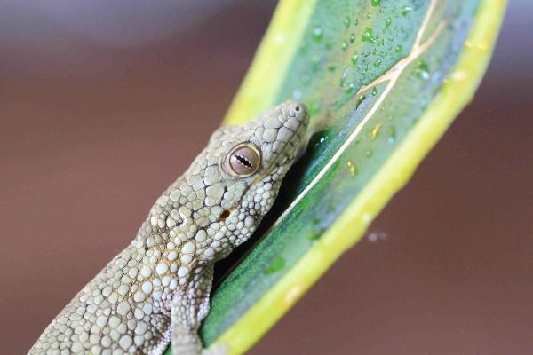 Vieillard's Chameleon Gecko, uploaded by kingsnake.com user geckovillage