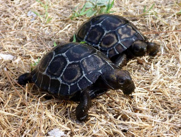 Galapagos Tortoise hatchlings