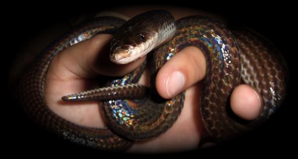 Mica - Sunbeam Snake