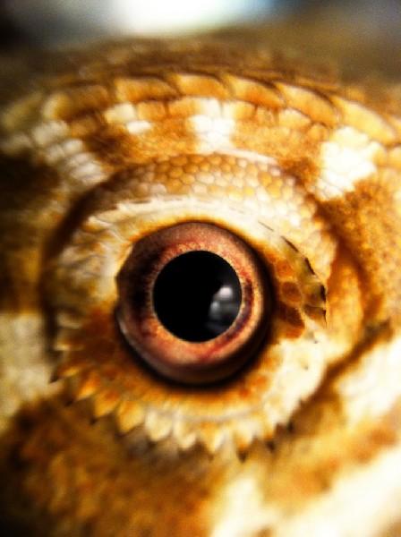 Eye of a Bearded Dragon, uploaded by kingsnake.com user mecdwell