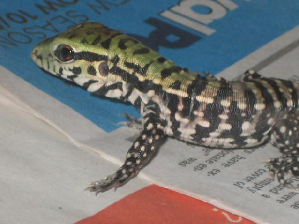 Baby Black and White Tegu One day Old