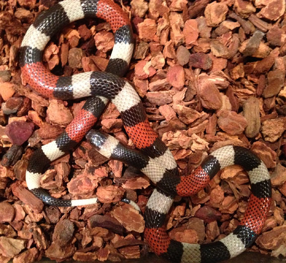 Coral snake, uploaded by kingsnake.com user MXHerper
