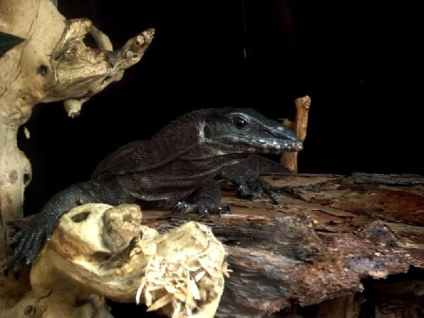 Varanus Rudicollis - Black Roughneck Monitor