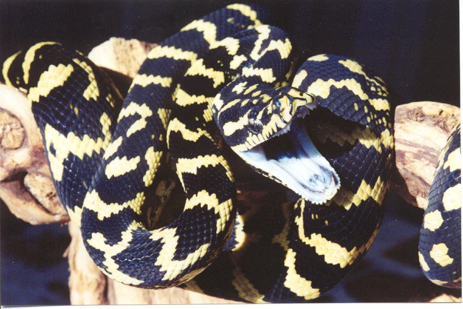 kingsnakecomphoto gallery > Pythons > Jungle Carpet Python