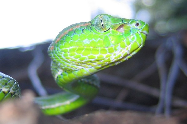 Hagen's Pit Viper, uploaded by kingsnake.com user knotsnake