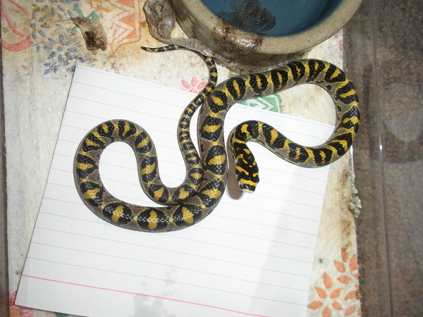 2010 mandarin rat snake yearling