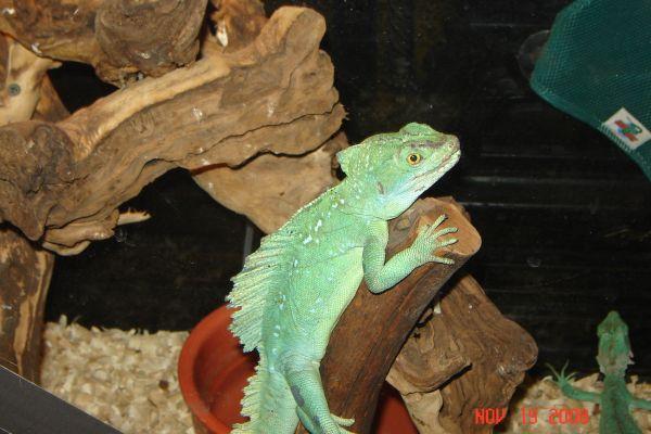 Green Basilisk Male