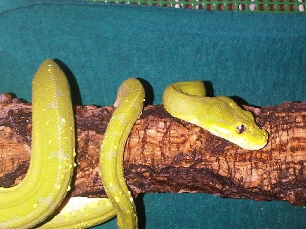 "Morelia viridis ""Lereh"""