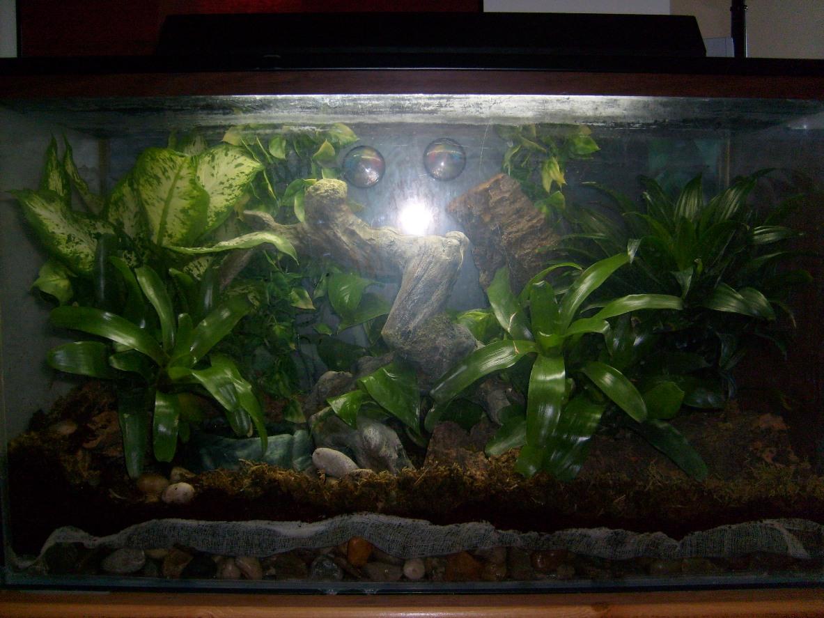 Kingsnake Com Photo Gallery Tree Frogs White S Tree Frog Terrarium