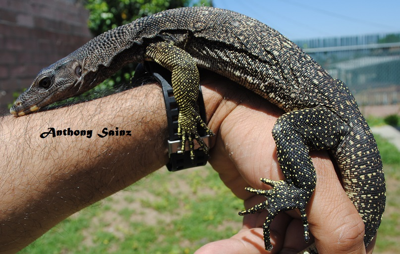 Black Headed Varanus Nuchalis