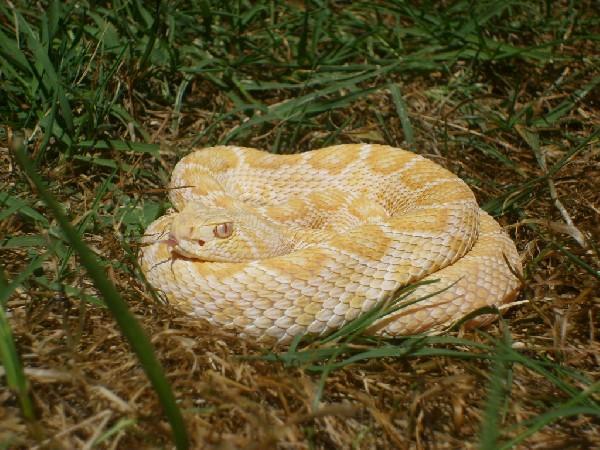 male albino atrox