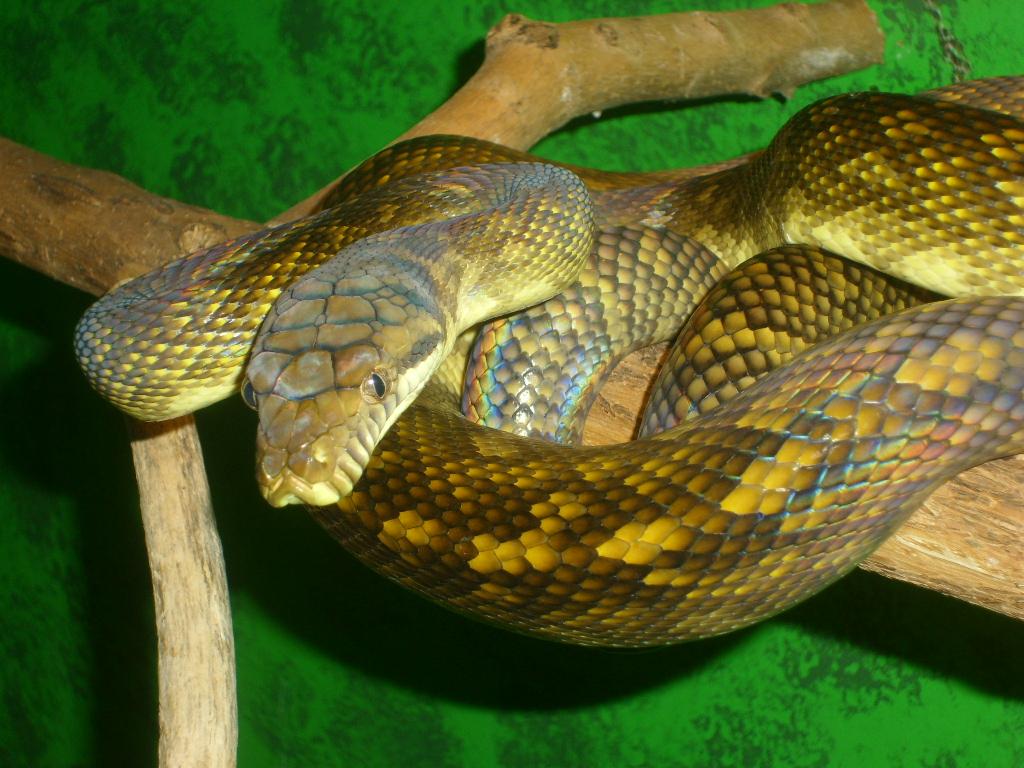 moluccan python