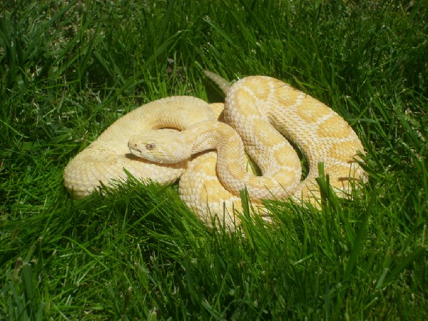 albino western diamondback