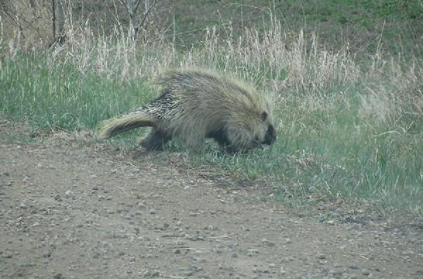 prickley prowler