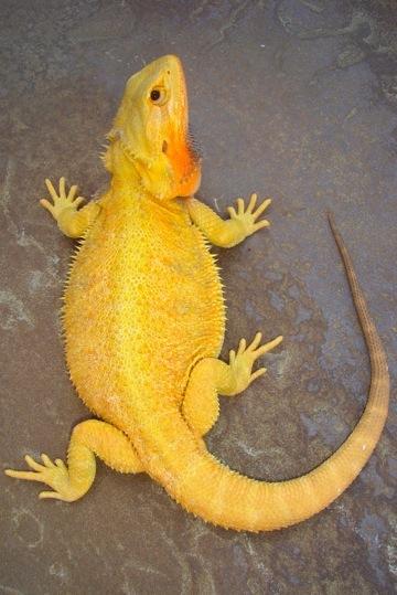 Kingsnake.com - Herpforum - RE: Albino Bearded Dragon?