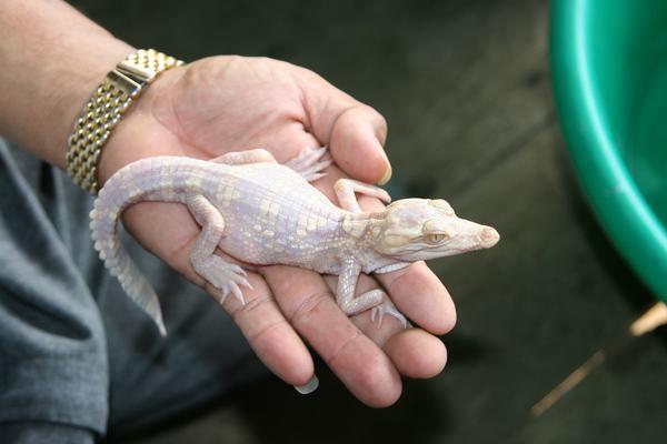 Albino Siamese Crocodile in hand.
