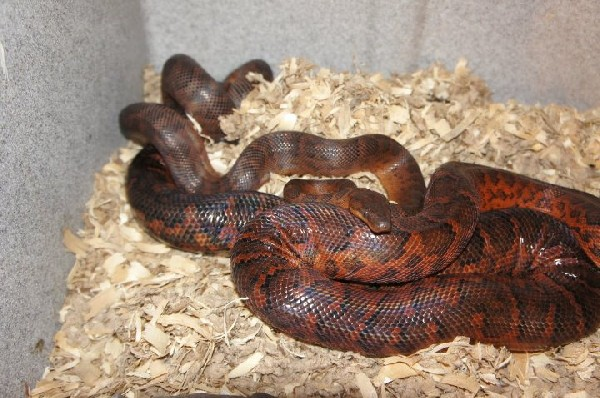 Dominican Red Mountain Boa's locked up 2012