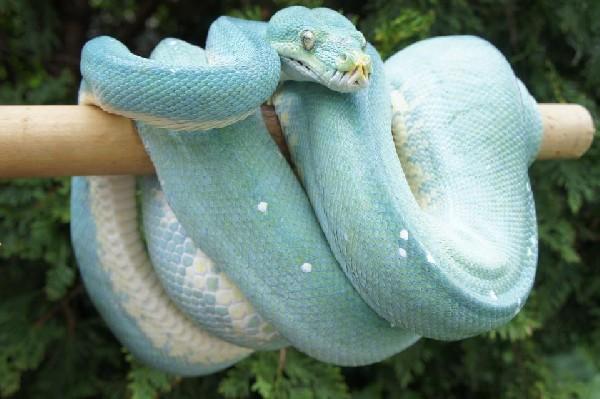 <br /> Blue Aru Island type Green Tree Python, uploaded by kingsnake.com user crocodilepaul