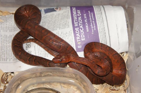 Dominican Red Mountian Boa F#2