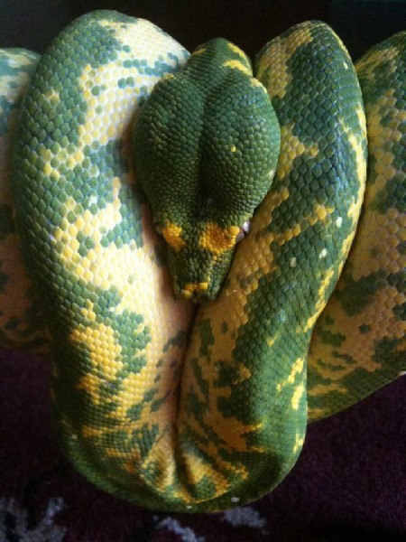 Designer Green Tree Python 60% yellow & 40% green
