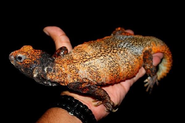 U.acanthinurus
