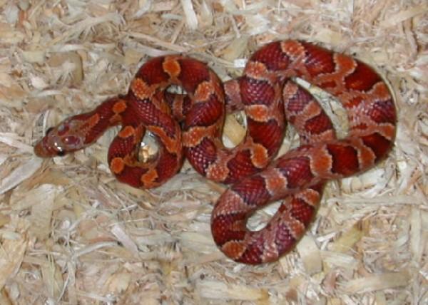Kingsnake com Classifieds > Corn Snake Classifieds