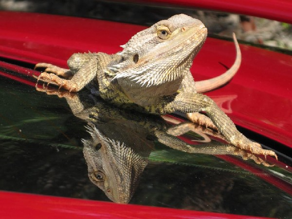 Bearded Dragon, uploaded by kingsnake.com user Alesha_Rae