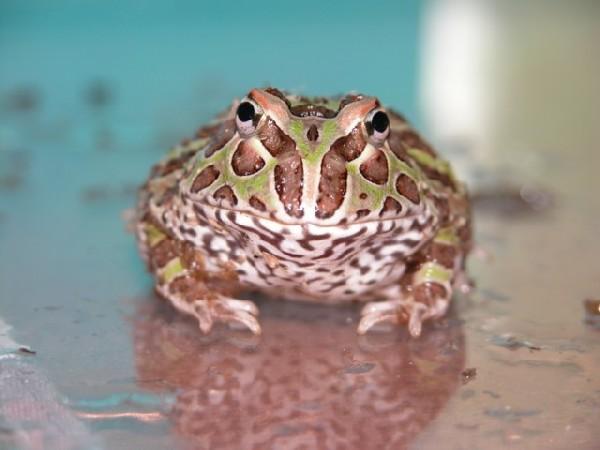 Horned Frog, uploaded by kingsnake.com user reptillia69