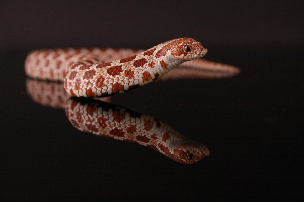 Western Hognose Red Phase, uploaded by kingsnake.com user SandBoaMorphs
