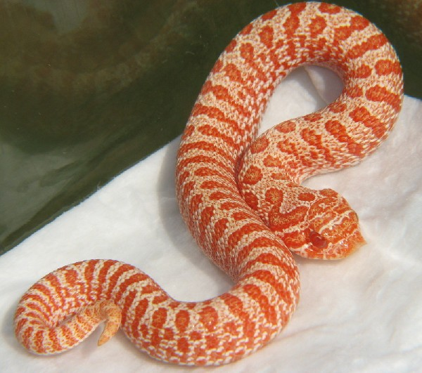Kingsnake com Classifieds > Hognose Snake Classifieds