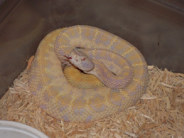 xanthic atrox yearling