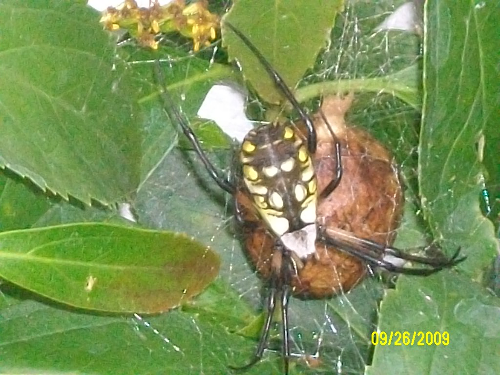 Photo gallery spiders yellow garden spider with egg sac for Garden spider egg sac