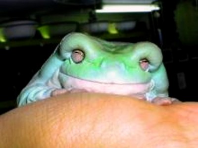 White's Tree Frog, uploaded by kingsnake.com user Reptiles_Impact