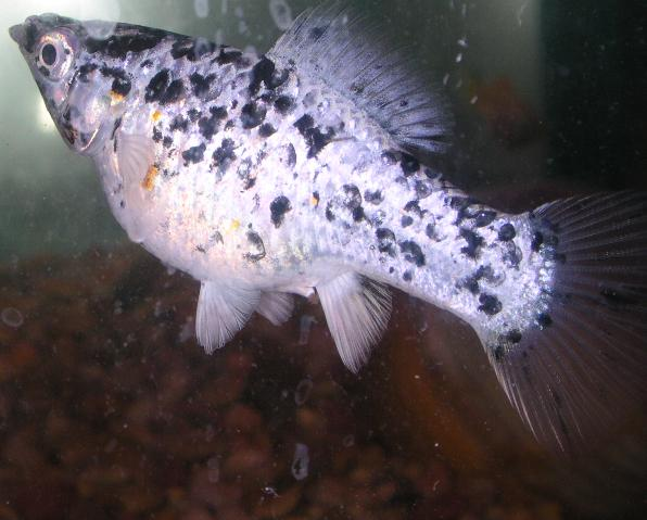 Photo gallery aquariums dalmation mollie for Pregnancy and fish